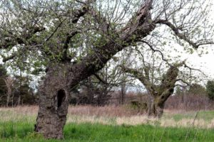 Redbyrd Cider producer and Cornell Orchards manager Eric Shatt prunes an old orchard near Burdette
